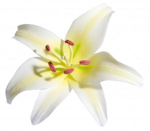 Tragant-Blumenbouquet Lilie, 12cm, 12 Stück