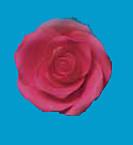 Tragant-Rosen, rot