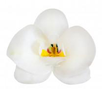 Waffel-Orchidee, weiss, 80mm, 10 Stück