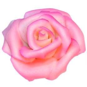 Marzipan-Rosen, maxi, rosa